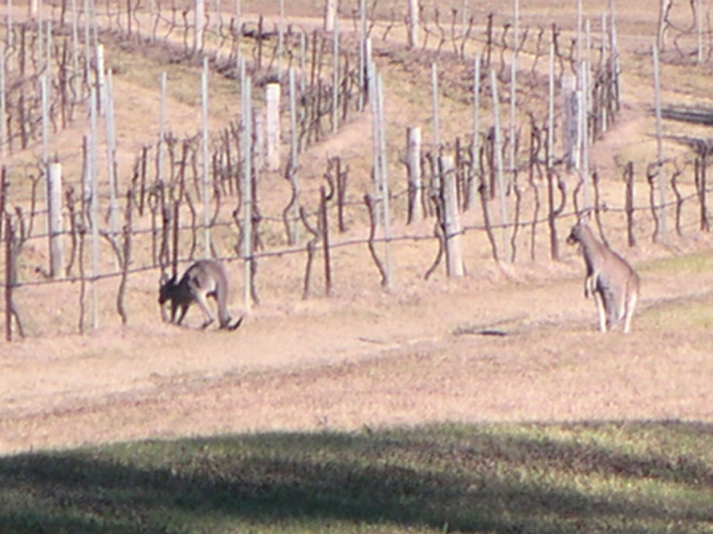 Kangaroos in the Vineyard