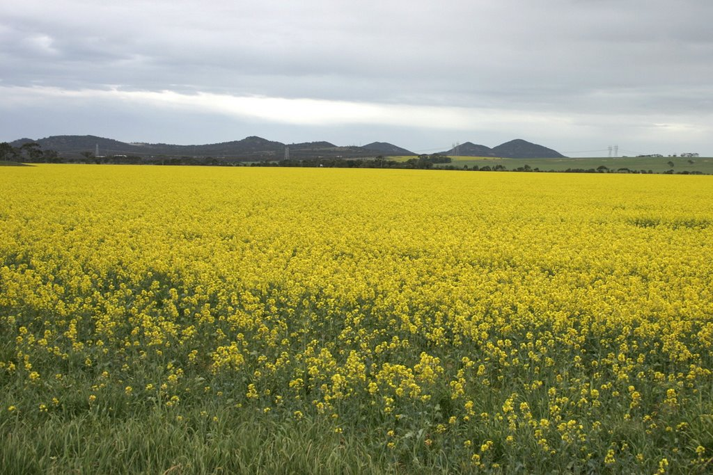 Fields of canola to the You Yangs