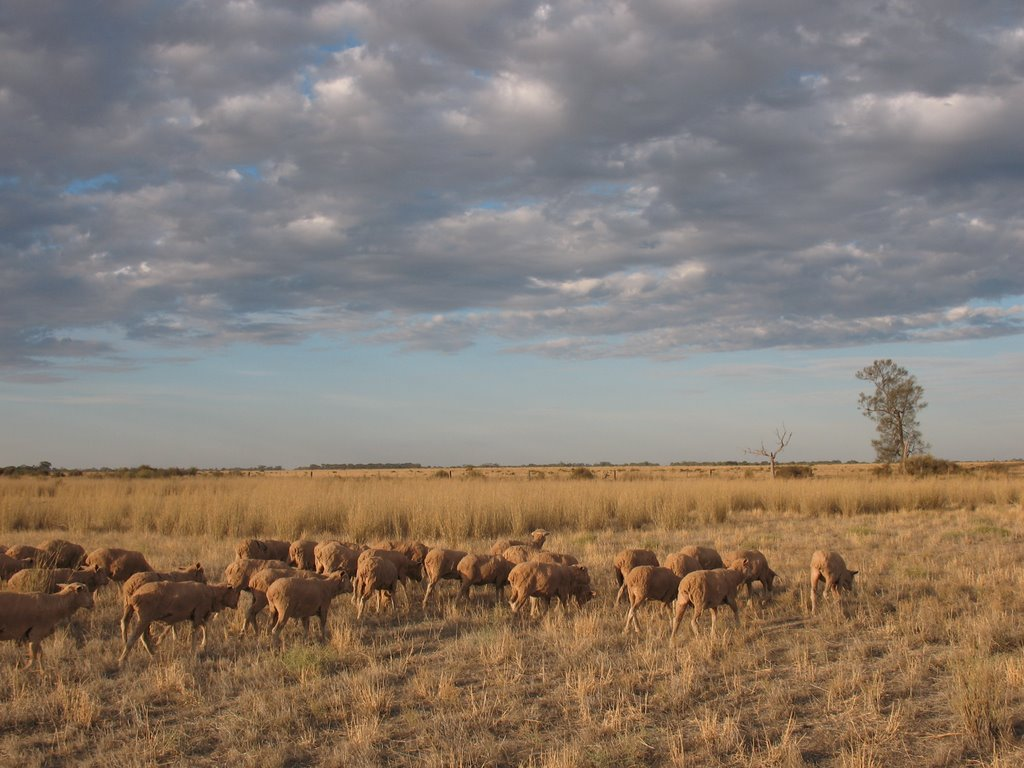 Merino Sheep in the Canegrass
