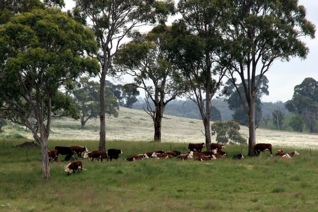 Summer Snow, Guyra: Cattle grazing the high pastures