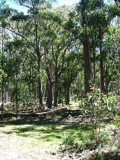 brown barrel forest on Great Dividing Range, Mount Spirabo
