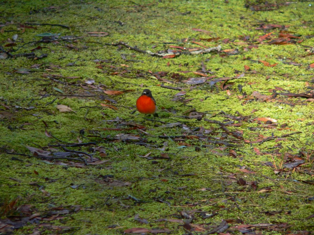 Red Robin on moss.