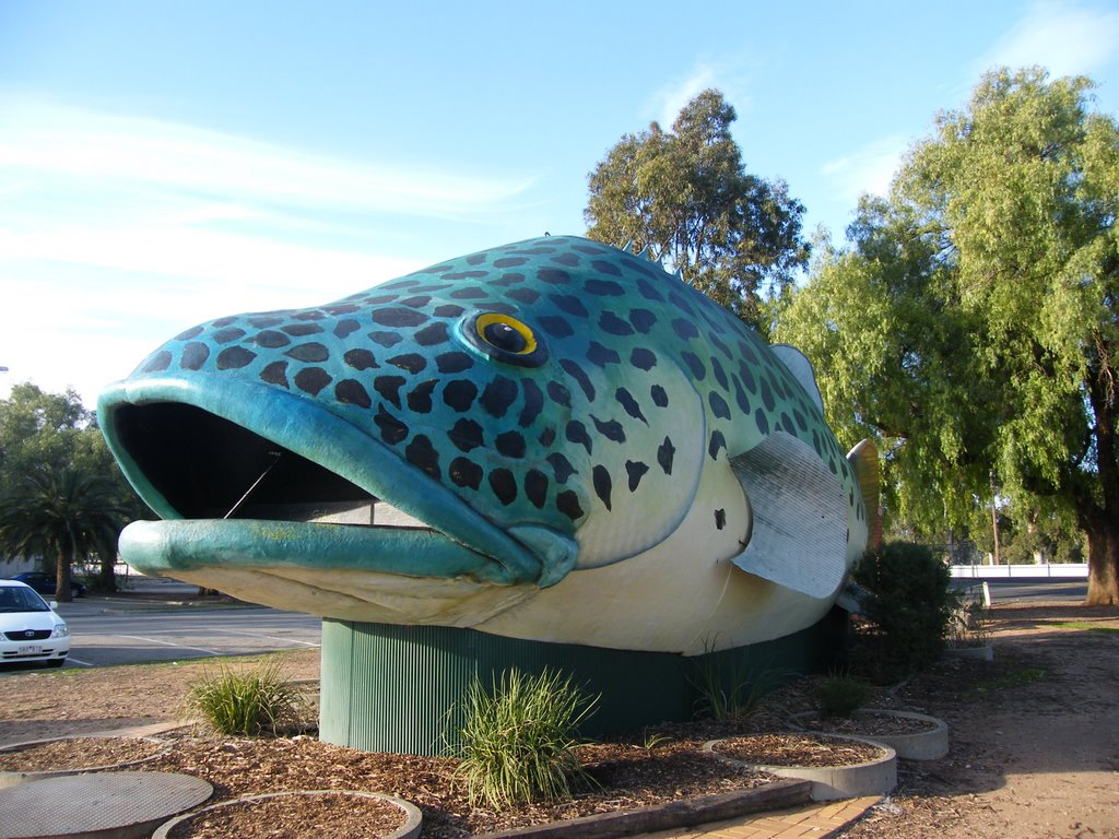 Giant Murray River Cod - Swan Hill