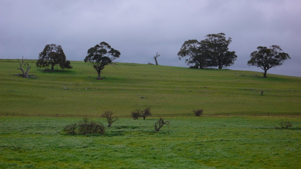 Trees near Mintaro