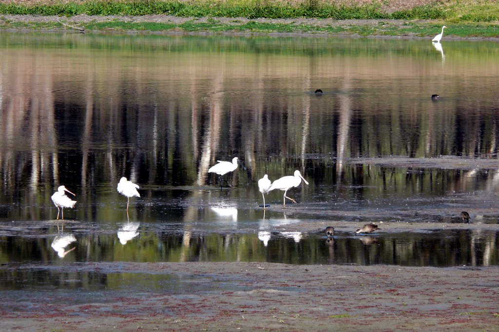 Water birds in Nhill Swamp (2008)
