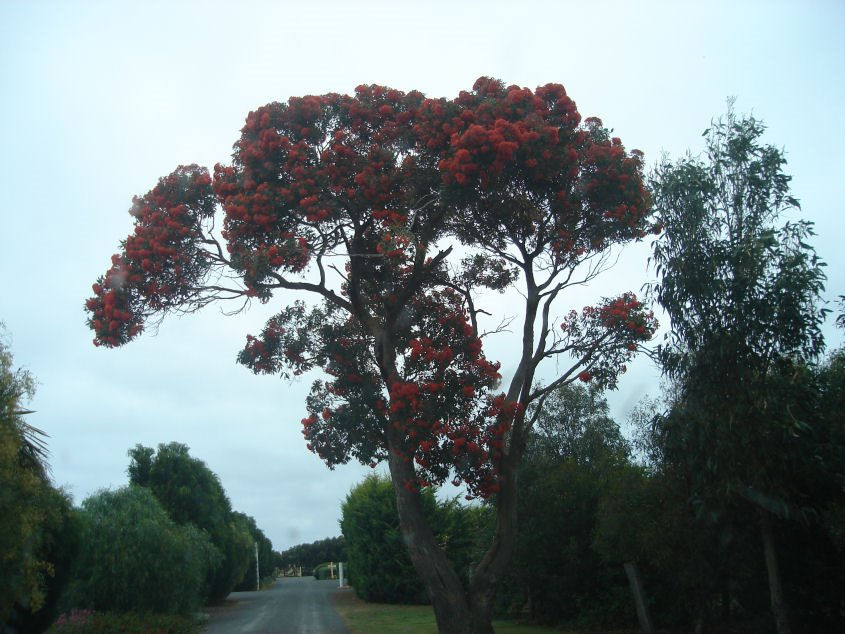 Gum Tree in Full Bloom Codrington