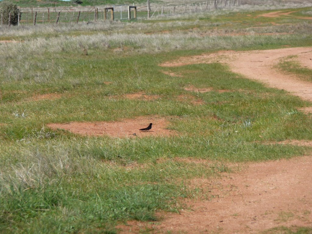 This Willie Wagtail wants me to head away from his nest