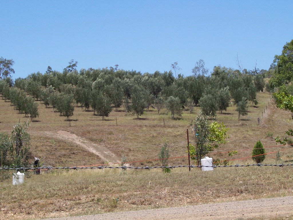 Claxton Olives looking South