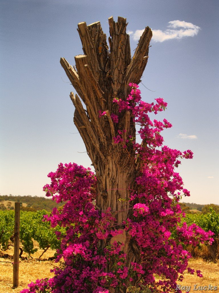 A Stump in engolved with bloom - Barrossa Valley