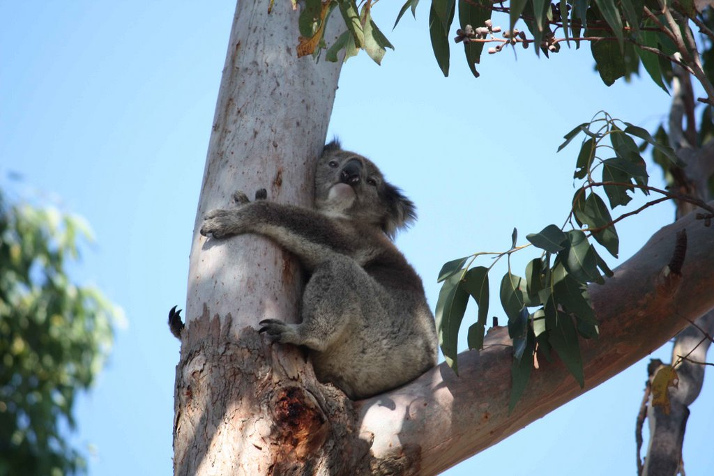 Koala staying cool on a hot Summer day