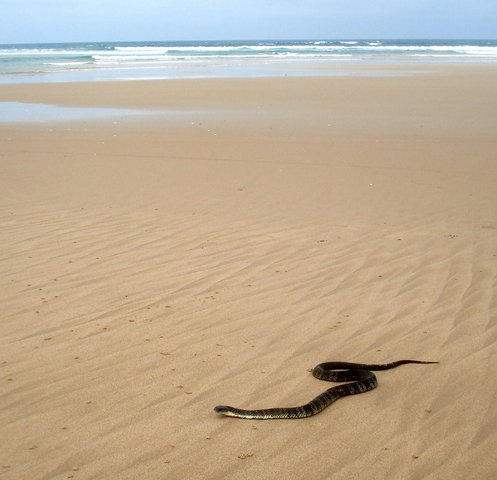 Tiger Snake on the beach at Venus Bay
