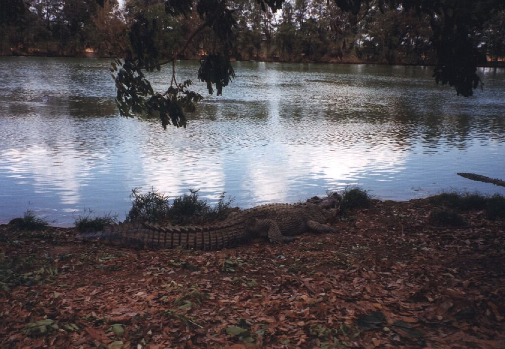Large Crocodile 1998