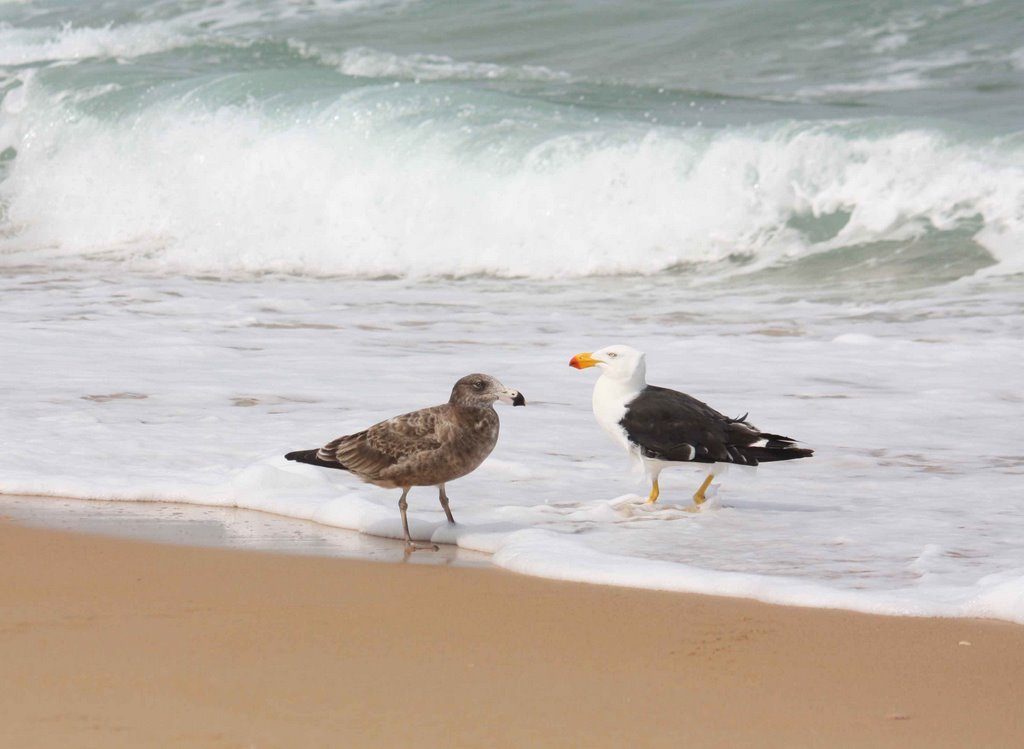 Pacific Gull & Juvenile (Larus pacificus), Ninety Mile Beach, Loch Sport