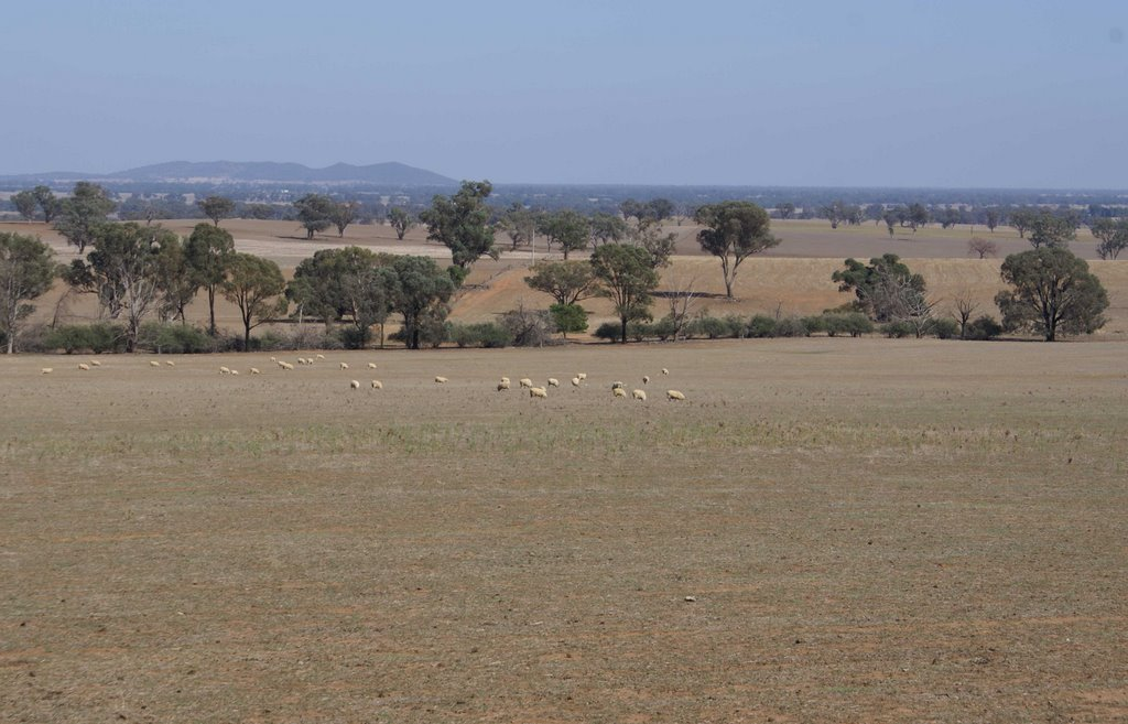 Dry Paddocks near Grenfell NSW