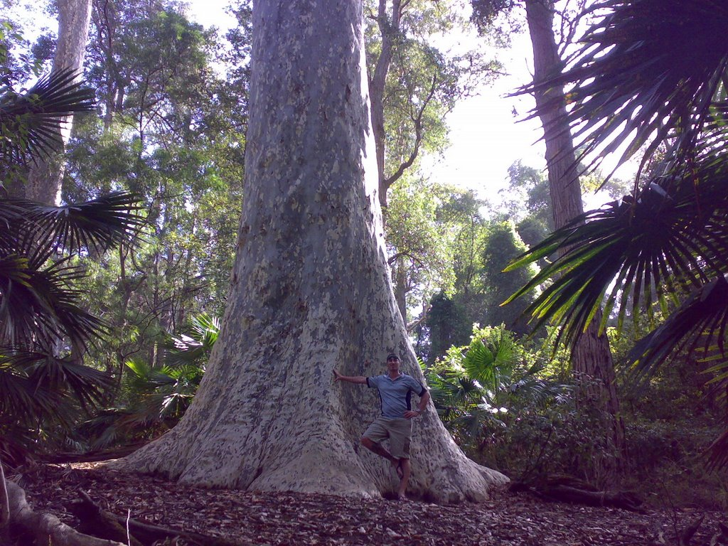 very large tree 1