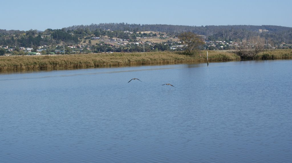 Swans On The Tamar