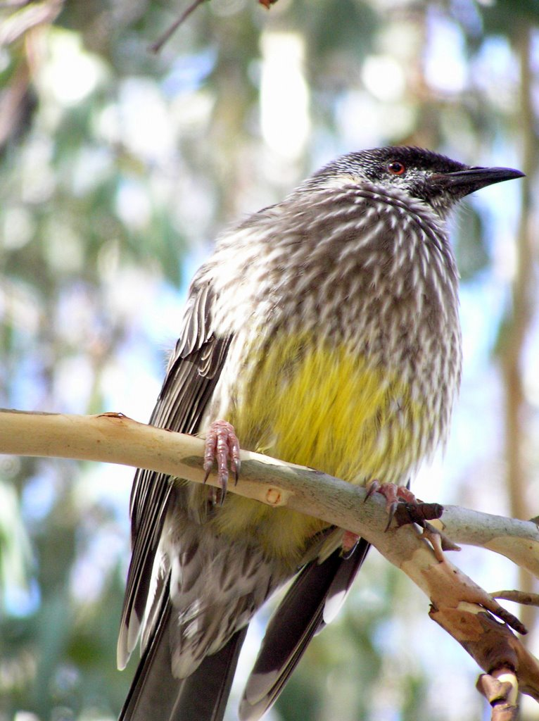 Red Wattle Bird at Mt. Buffalo