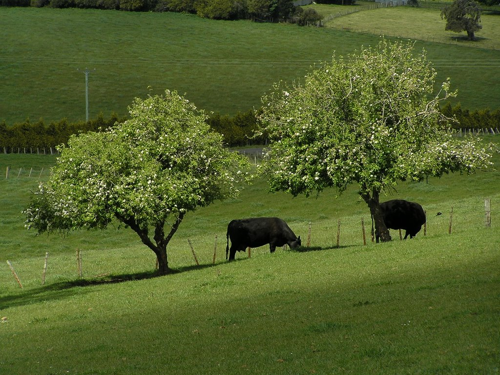 White blossom, black cows, green grass at West Scottsdale