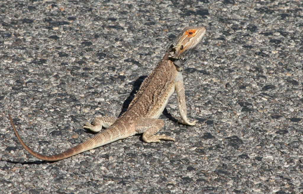 Road runner - Central Bearded Dragon - Pogona vitticeps