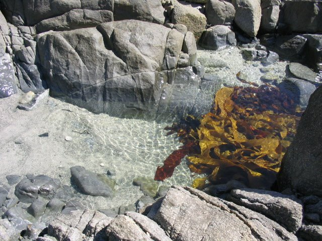 Porkies Beach Kelp