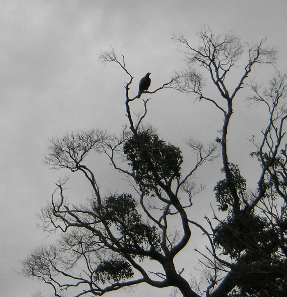 Silhouett of a Wedge Tailed Eagle