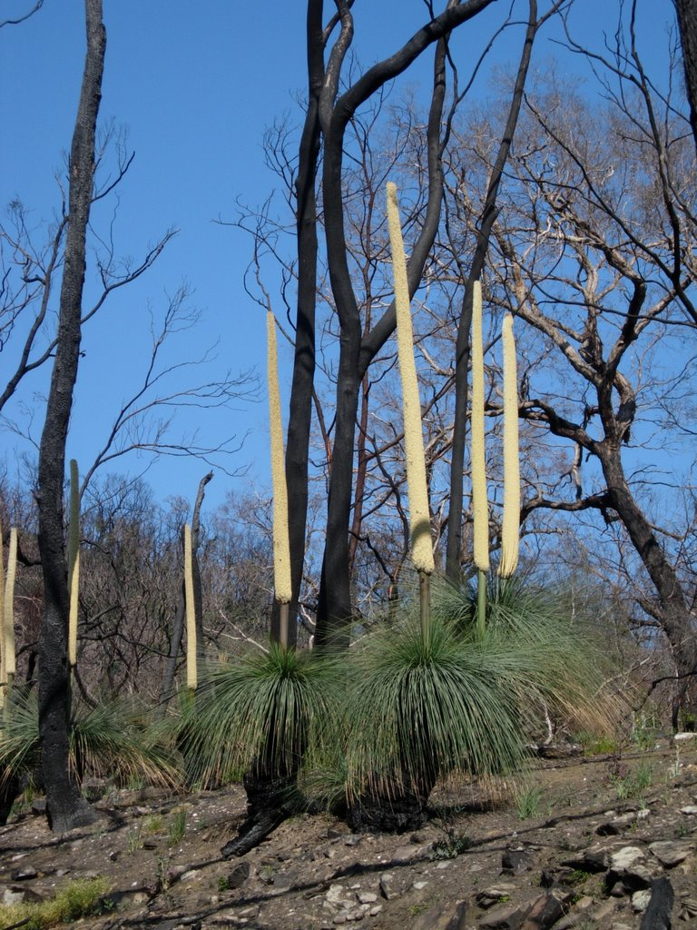 Grass tree in Brisbane Ranges
