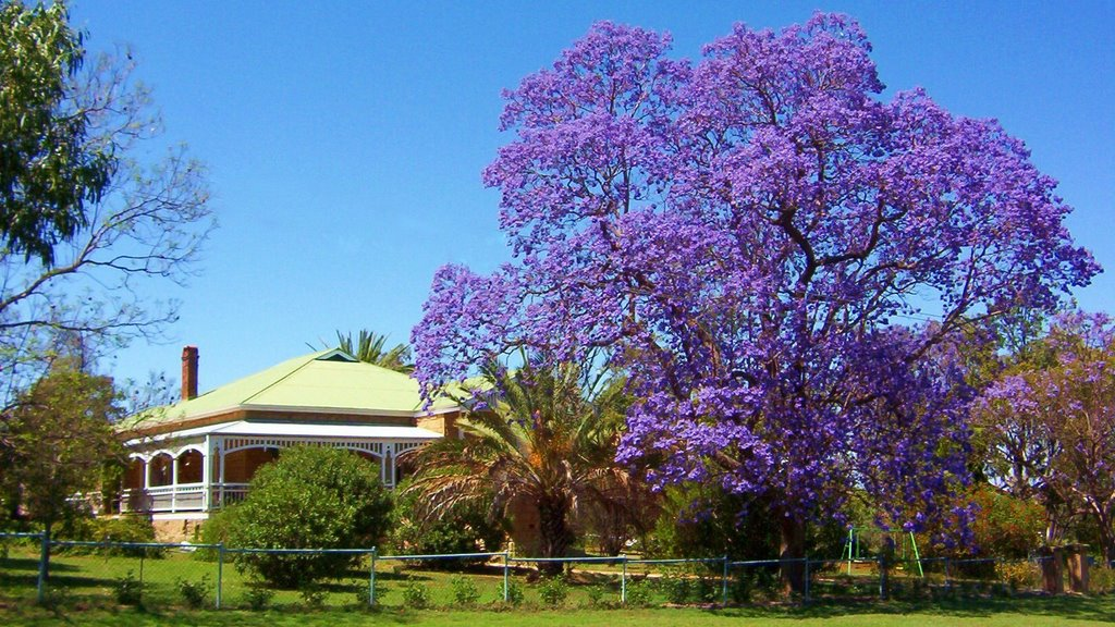 Queenslander and Jacaranda