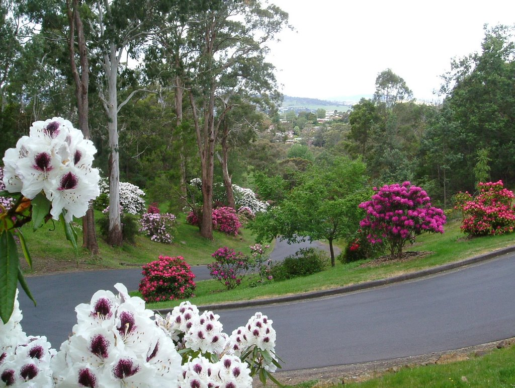 Punchbowl rhododendrons, Launceston ......    24