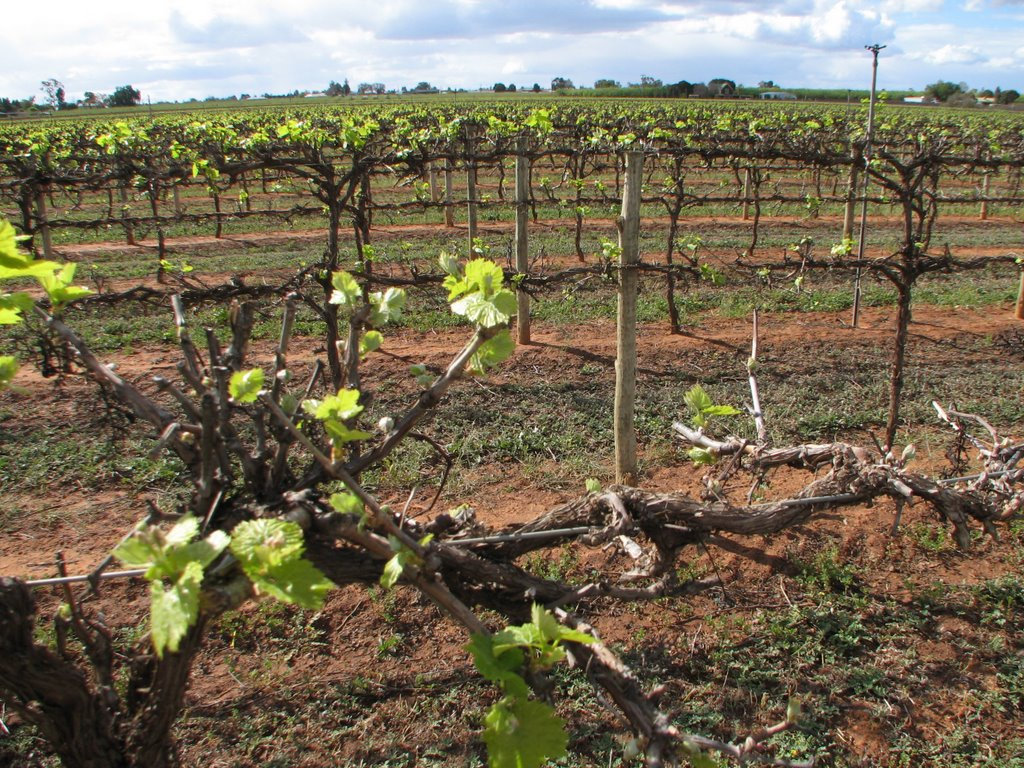 Grapevines, near Karadoc (September, 2009). Sunraysia is well known for its wine grapes, table grapes and the dried fruit it produces