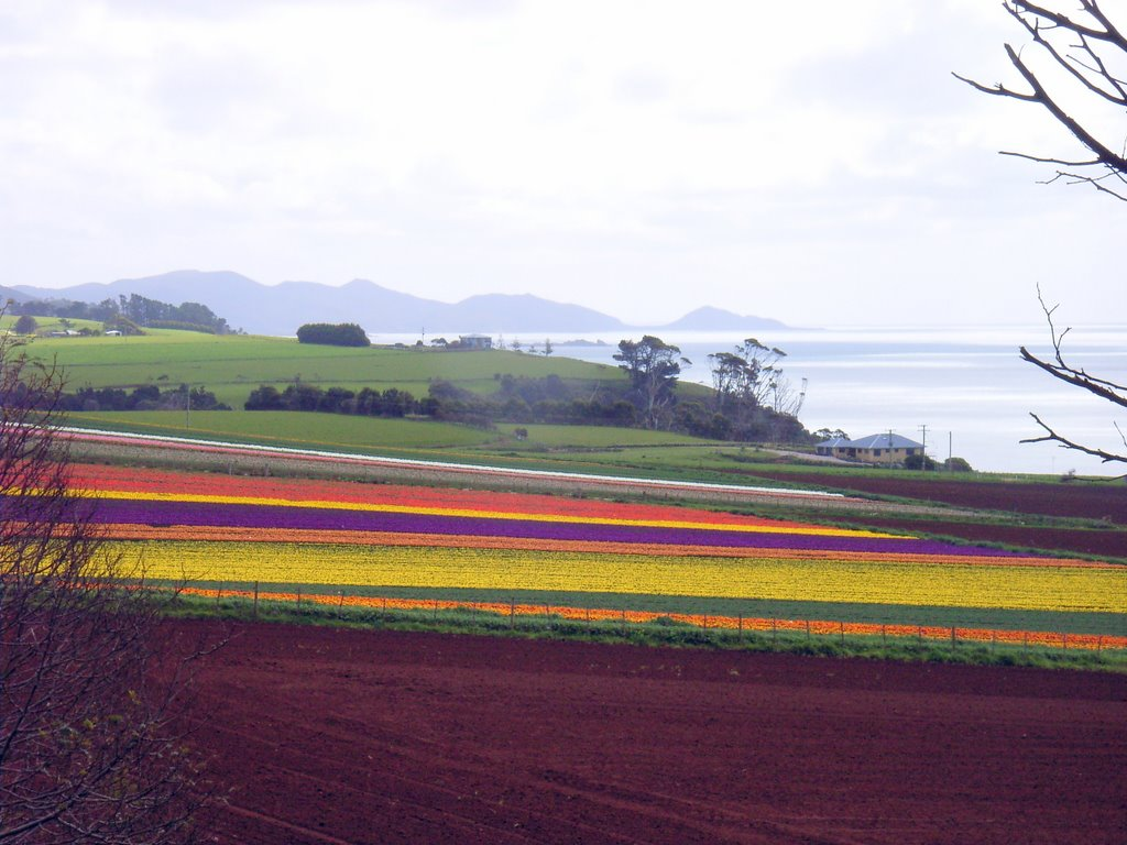 Tulip fields at Boat Harbour. Rocky Cape in back ground  ......        149