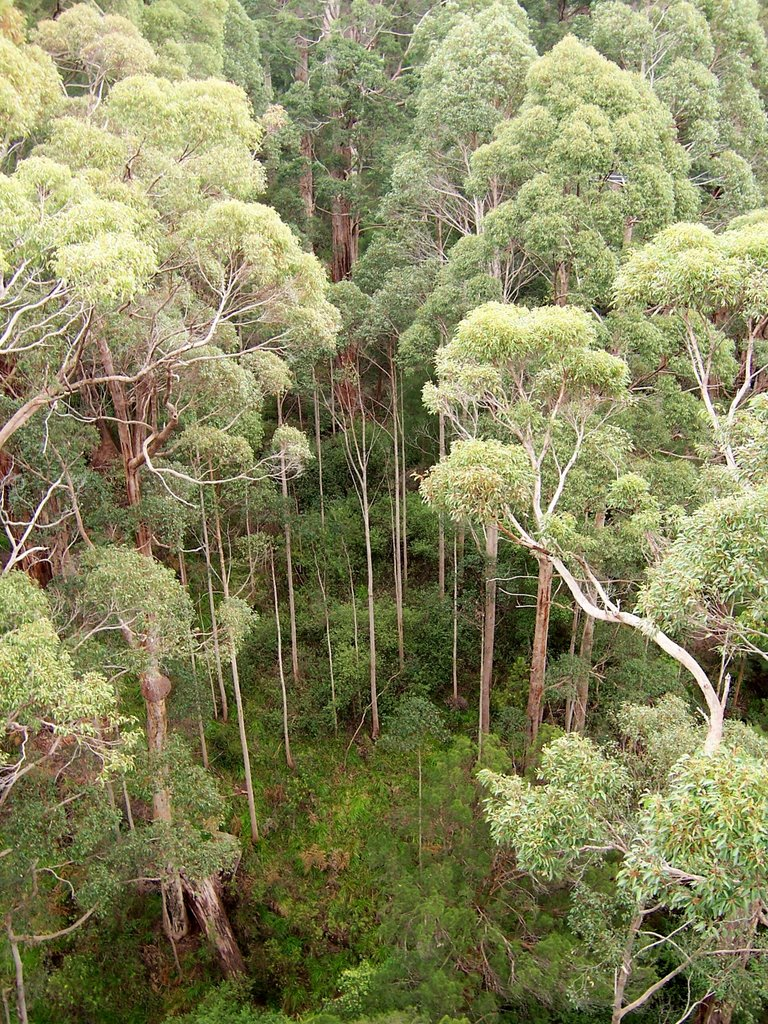 Red Tingle Trees, Tree Top Walk WA