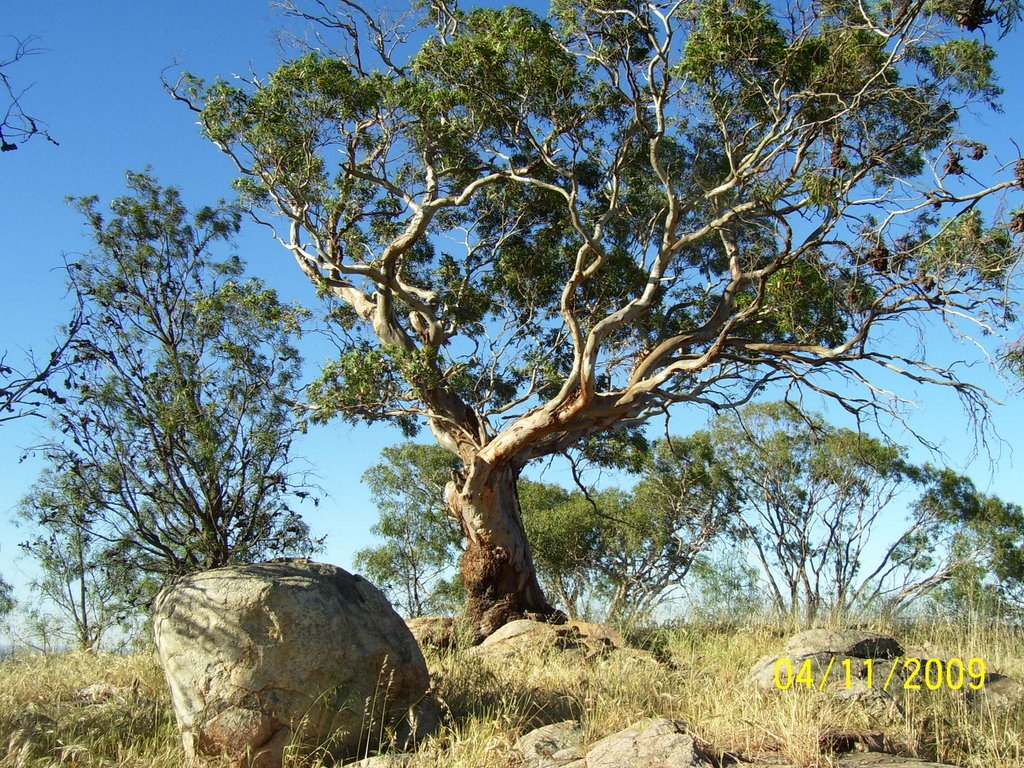 Gum Tree at Pangerang Lookout - Warby Range State Park