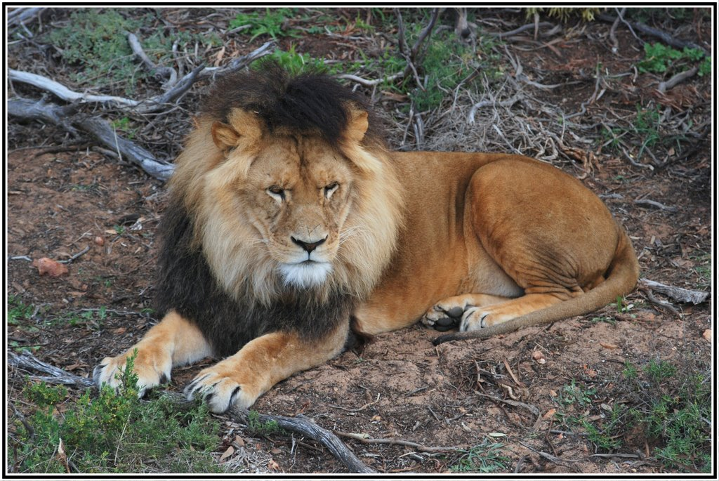 Lion - Monarto Zoo - South Australia