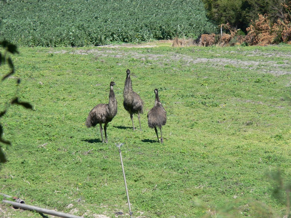 Emus in a paddock, East Gippsland