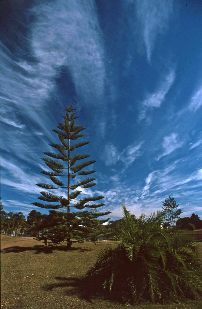 Hoop Pine in Bunya National Park