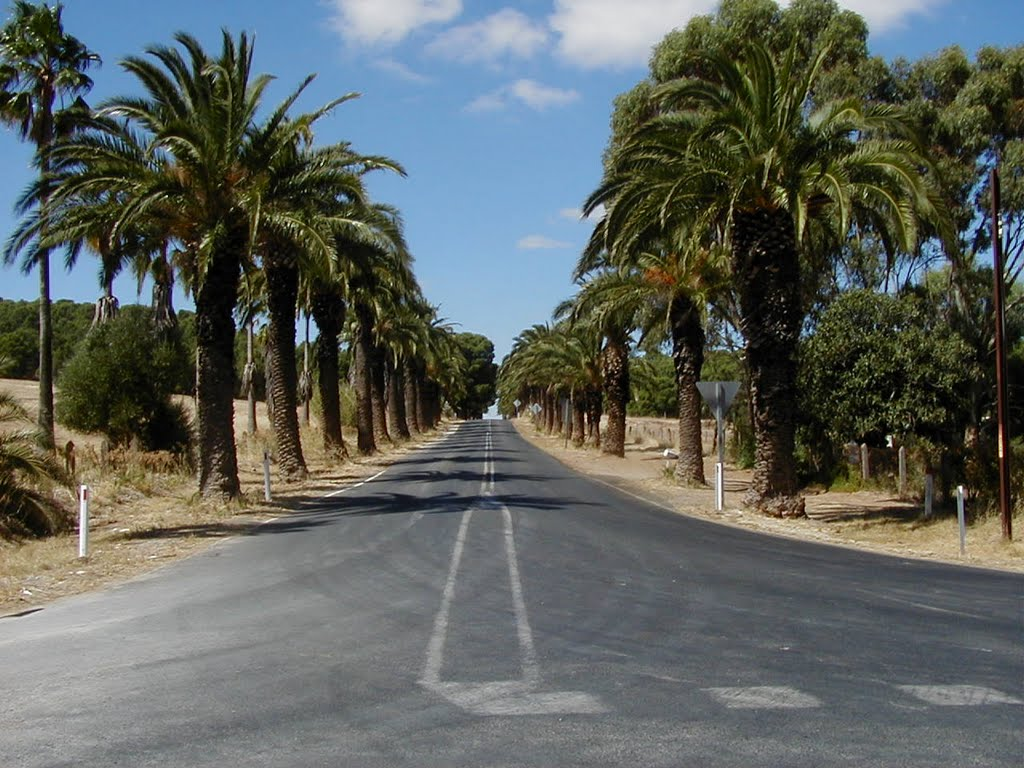 Palm Tree lined road to Seppeltsfield Winery SE