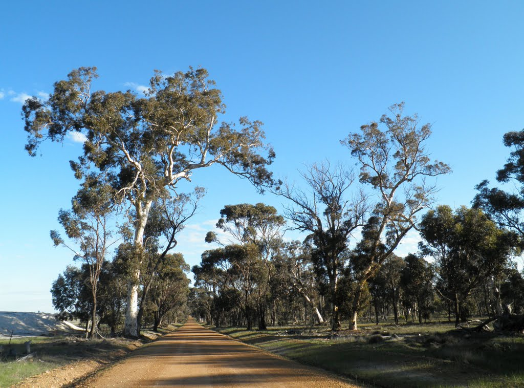 Large White Gum on Sukeys Hill Road