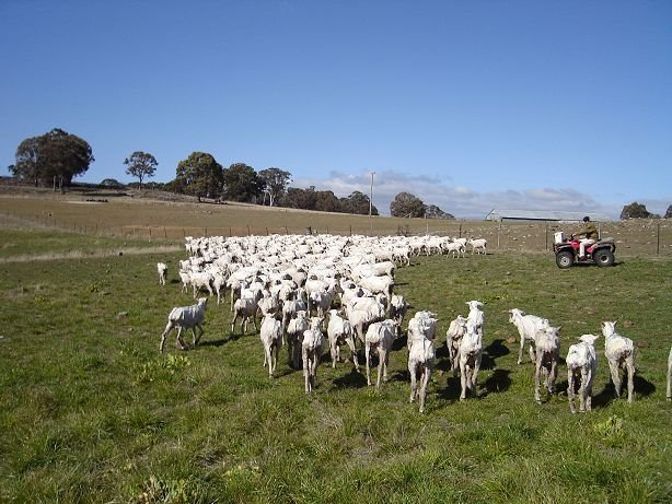 Superfine Merino sheep farm near Guyra