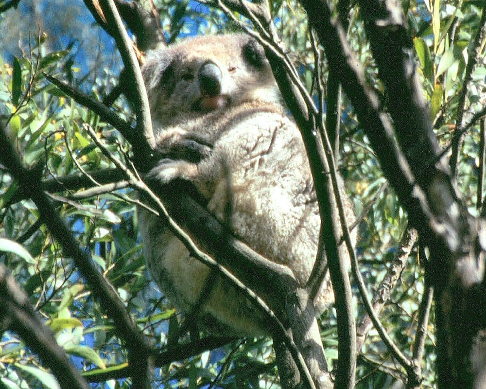 Australia: Koala @ Tower Hill National Park