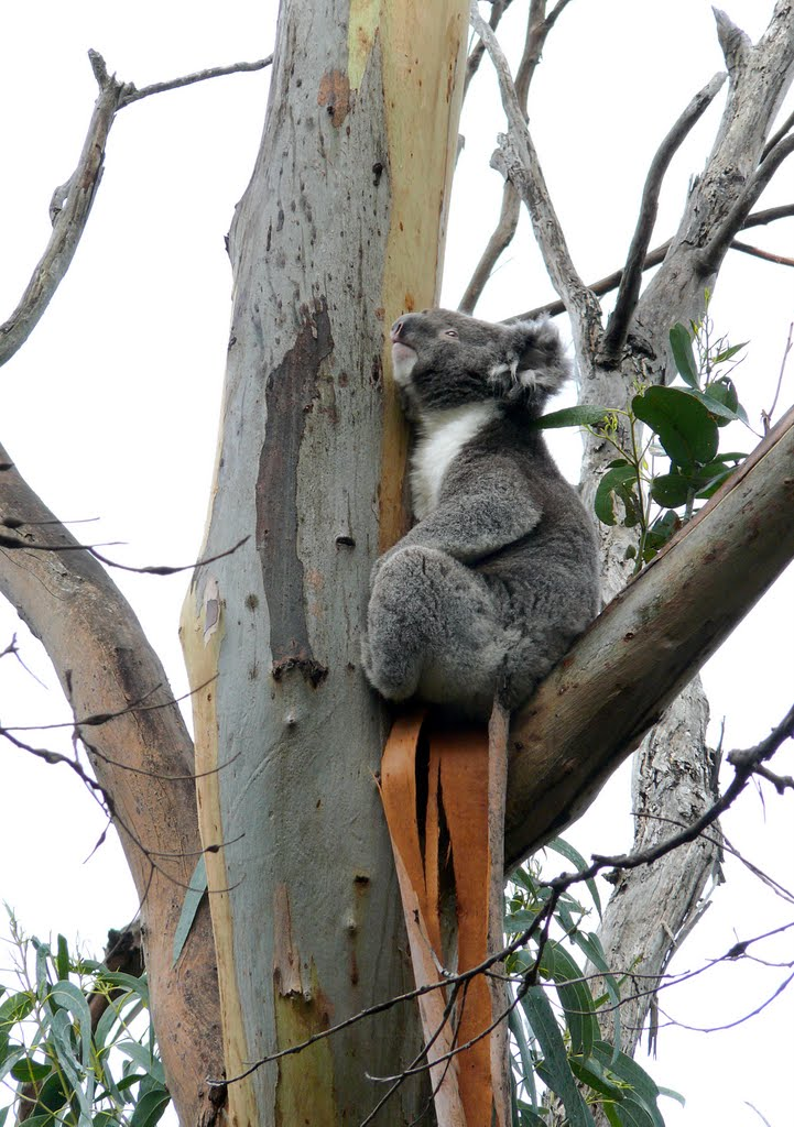 Koala Bear at the Kennett River