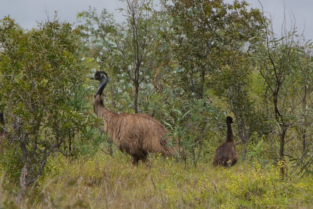emus, on the way from Barcaldine to Emerald