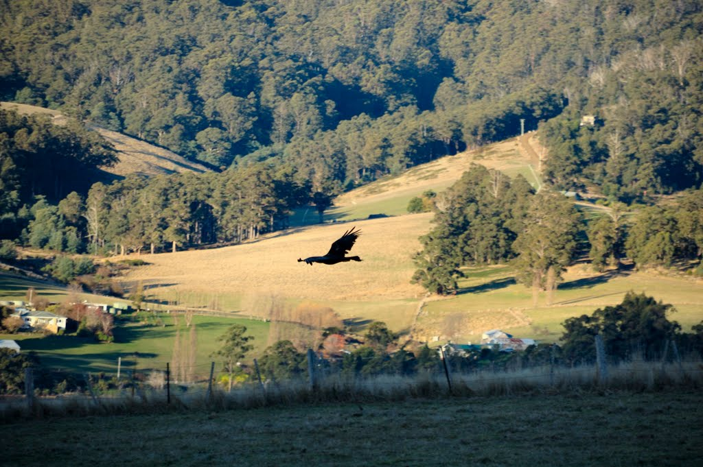 Tasmanian wedge-tailed eagle over Palmers Road, Port Huon