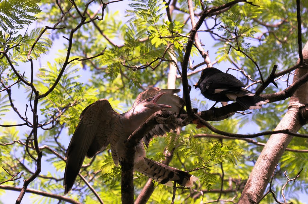 A Cuckoo chick and a Currawong mum...