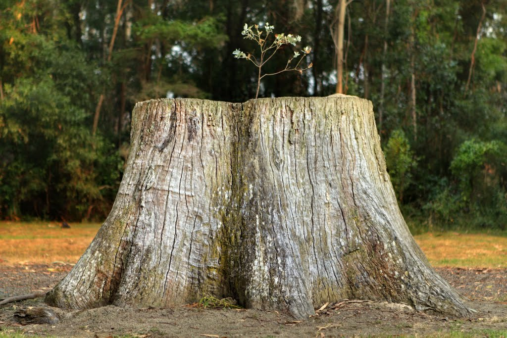 Expired tree stump - supports new life! in Cann River