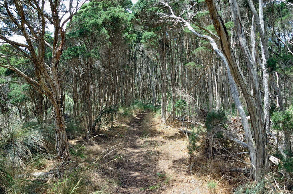 Tea tree stand on Little Swan Point walking track