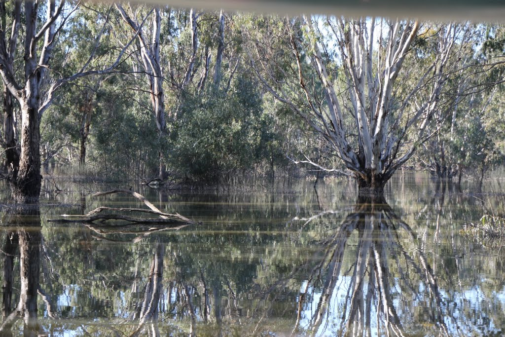 Magnificent Gums, Barmah Lake in flood