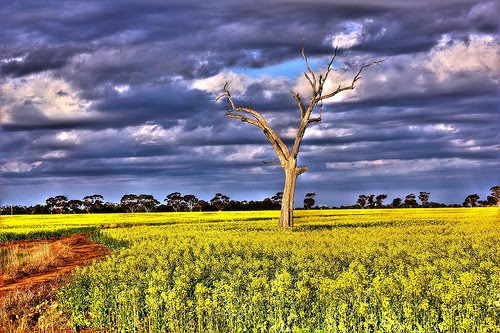Canola and Tree