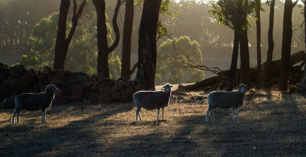 Sheep near Rosa Glen Road / Western Australia