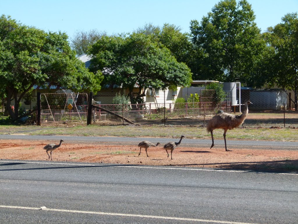 Emu family in Bollon