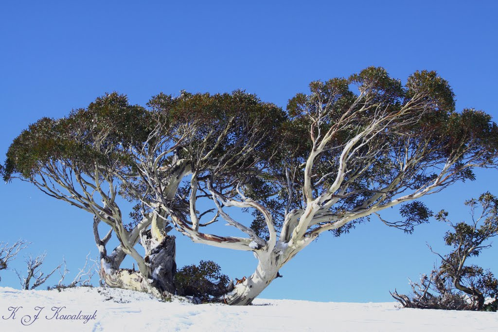 Snow Gum Trees
